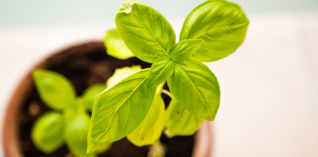 Fresh green basil plan in a pot